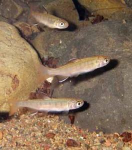 Three Juvenile coho salmon