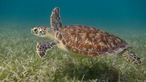 A sea turtle swim over seagrass near Culebra Island, Puerto Rico