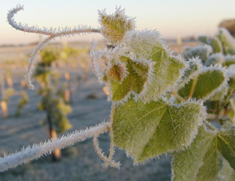Frost-on-vines