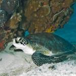 Green_Sea_Turtle_Biscayne_NPS-SF-Carib