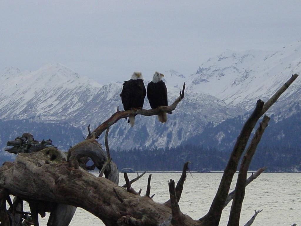 Two bald eagles perch on branch, in front of snowy mountains