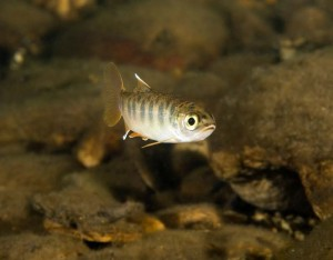 Endangered fish, such as coho salmon, struggle to survive during the dry season.