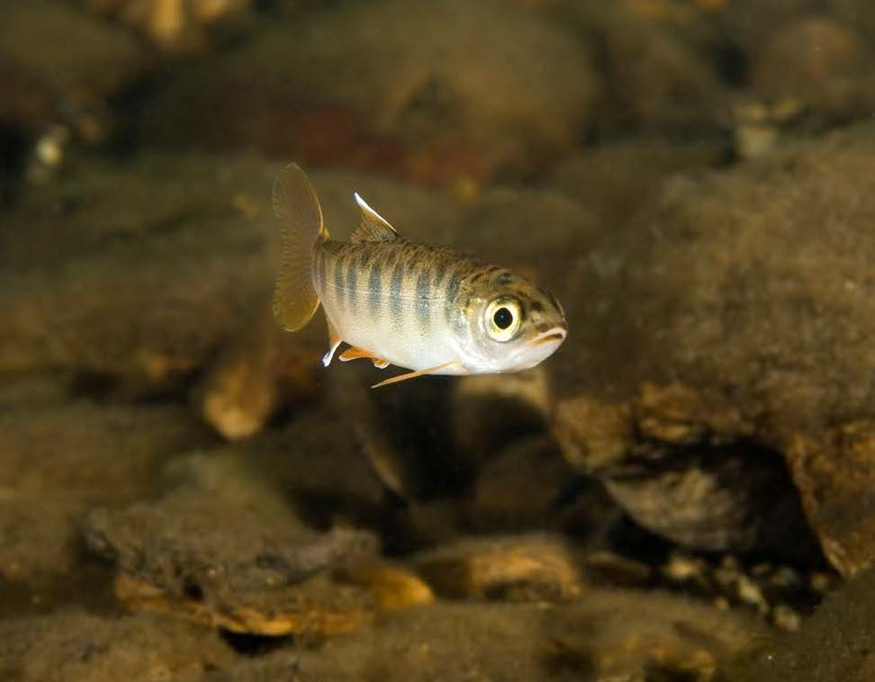 Looking directly at the cameria is a juvenile, endangered coho salmon.