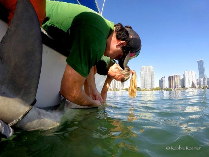 University of Miami graduate student Robbie Roemer and assistant tag a shark with an in Biscayne Bay, with downtown Miami in view.