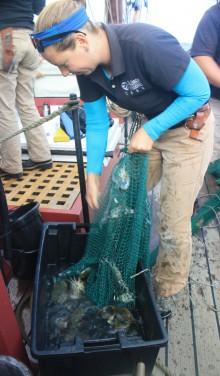 A Sultana crew member empties the contents of a trawl--blue crabs and fish--into a bucket so students can see them.