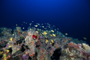 Fish congregating on deep benthic coral reef habitat in the waters of the West Hawai'i Habitat Focus Area.
