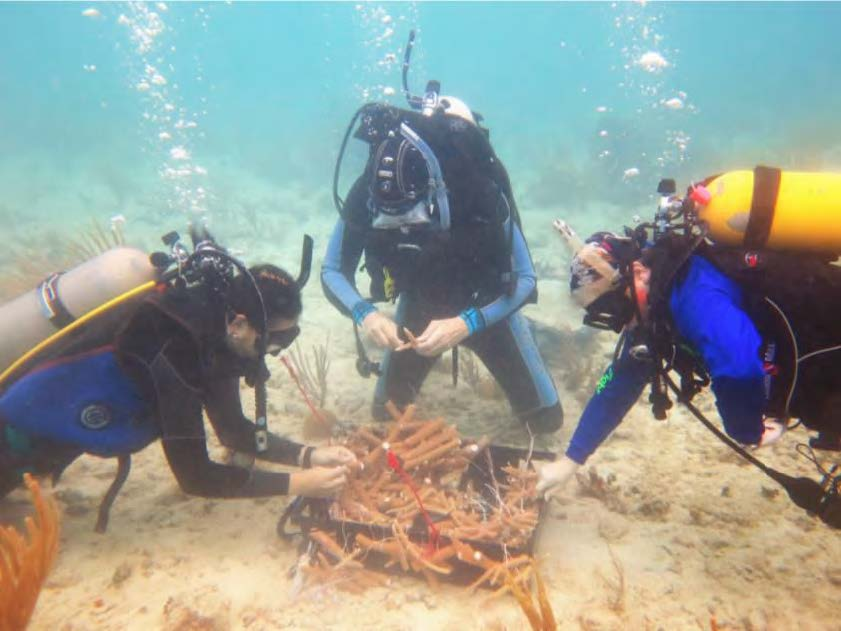 divers prepare to transplant staghorn coral fragments onto a reef in the Northeast Marine Corridor and Culebra Island HFA.